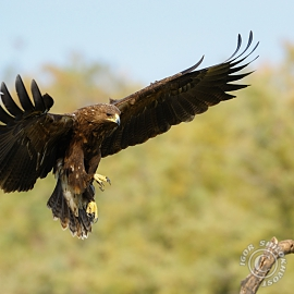 Great-Spotted-Eagle_5