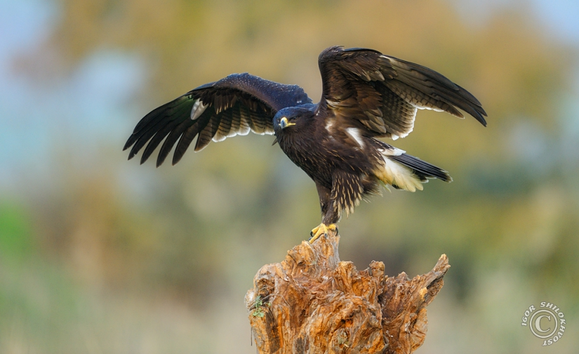 Greater-Spotted-Eagle_4