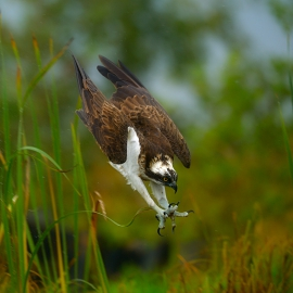 attacking osprey